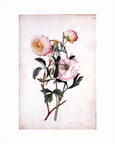 Musk Rose and Anemone, 1767 by Georg Dionysius Ehret