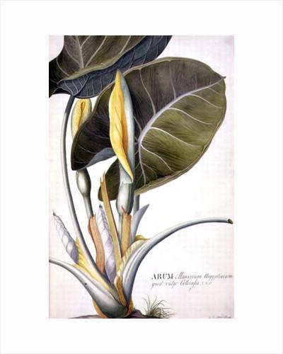 Arum maximum aegyptiacum by Georg Dionysius Ehret
