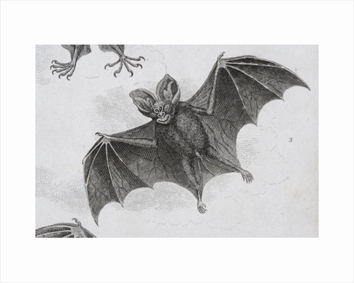 Bat by Sydenham Teast Edwards