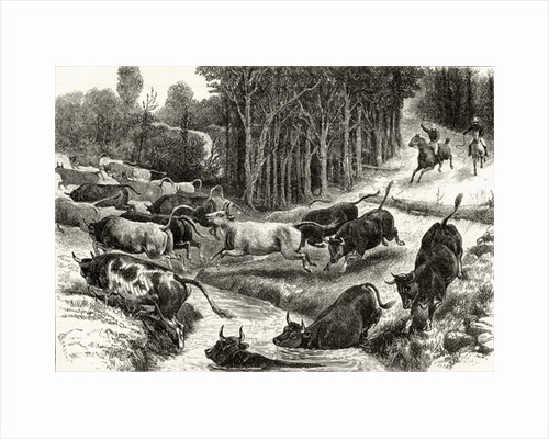 Driving Cattle in Australia by English School