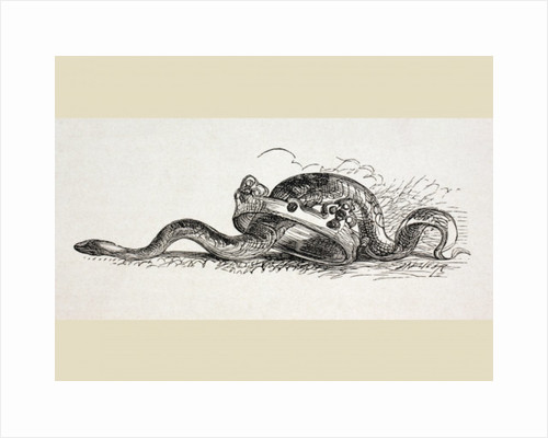 A snake slithers through a royal crown by English School