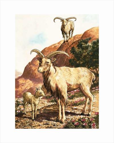 Barbary sheep by English School