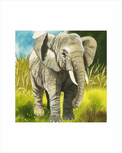Elephant by English School