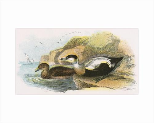 Eider Duck by English School
