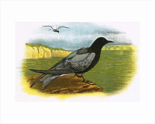 Black Tern by English School