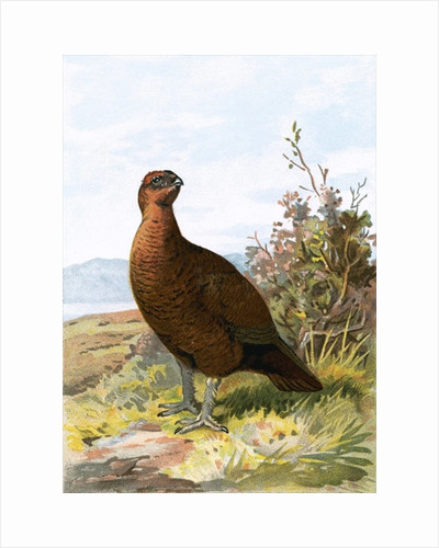 Grouse by English School