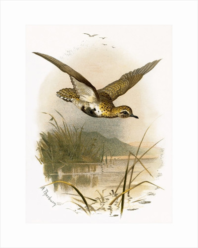 Golden Plover by English School