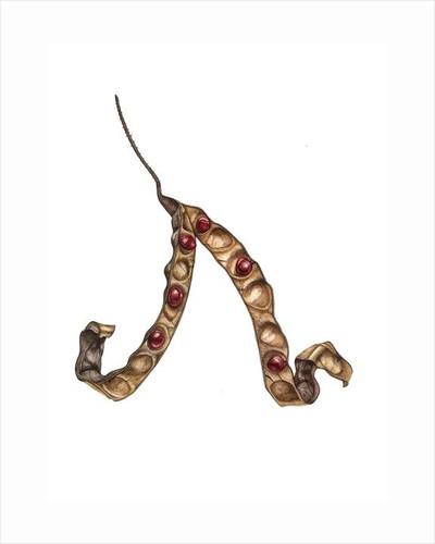 Adenanthera pavonina by Rachel Pedder-Smith