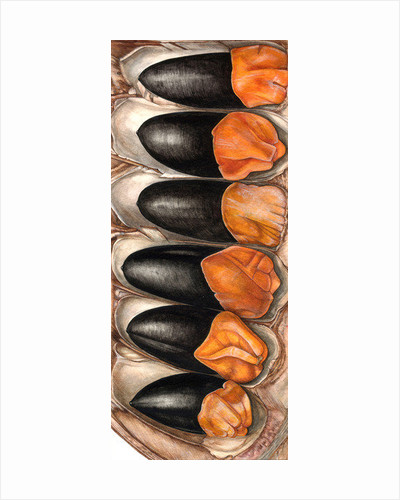 Afzelia quanzensis with seeds by Rachel Pedder-Smith