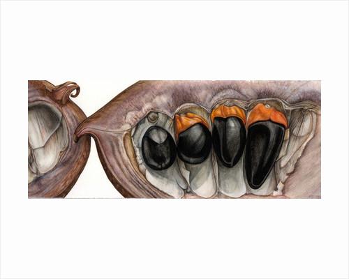 Afzelia Seed Pod by Rachel Pedder-Smith