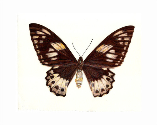 Birdwing Butterfly, Ornithoptera priamus, female by Rachel Pedder-Smith