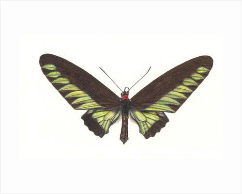 Birdwing Butterfly, Trogonoptera brookianus by Rachel Pedder-Smith