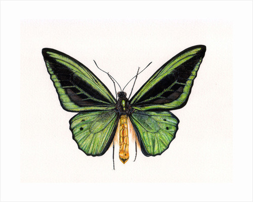 Birdwing Butterfly, Ornithoptera priamus, male by Rachel Pedder-Smith