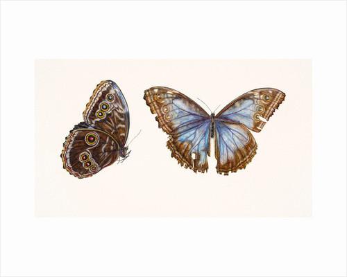 Blue Morpho Butterfly by Rachel Pedder-Smith