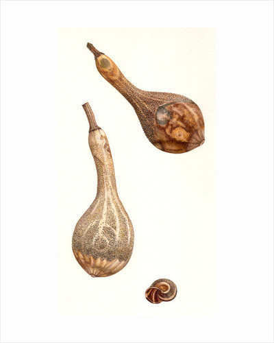 Dried Gourds and Snail Shell by Rachel Pedder-Smith