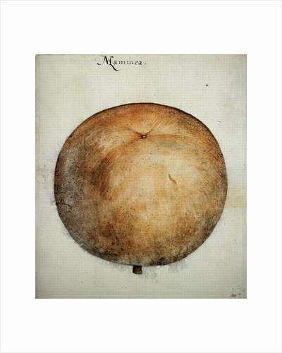 Mammea Apple by John White
