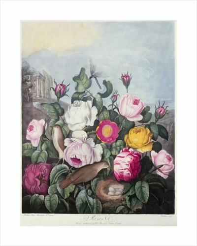 Roses, engraved by Earlom by Robert John Thornton