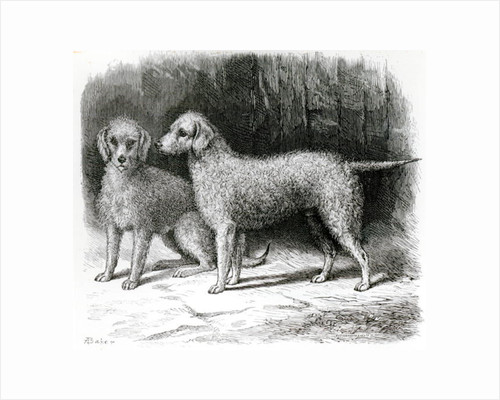Bedlington Terriers- Mr. F. Armstrong's 'Rosebud' and Mr. A. Armstrong's 'Nailor' by English School