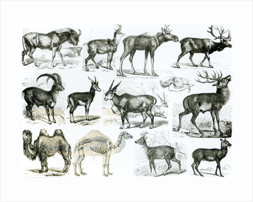 Ungalata or Hoofed Animals by English School
