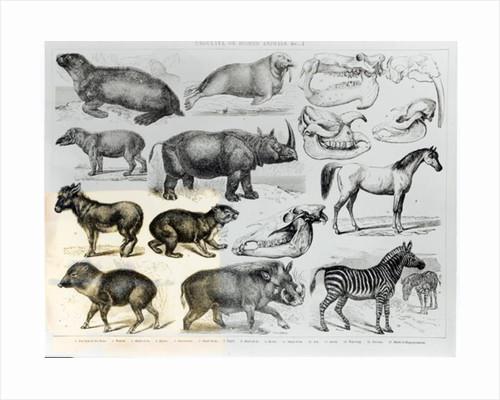 Ungulata or Hoofed Animals by English School