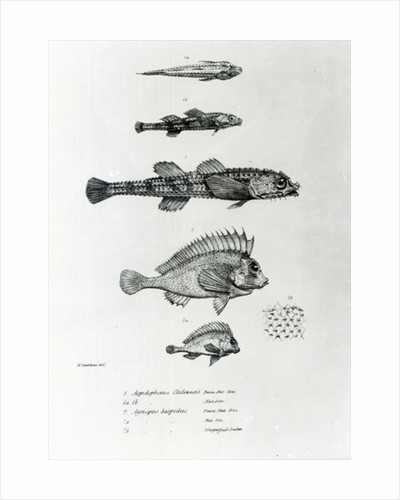 Aspidophorus Chiloensis and Agriopus Hispidus by English School