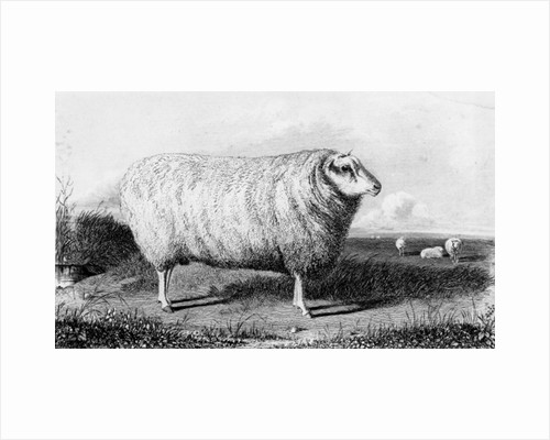 A Leicester Tup by John Sheriff