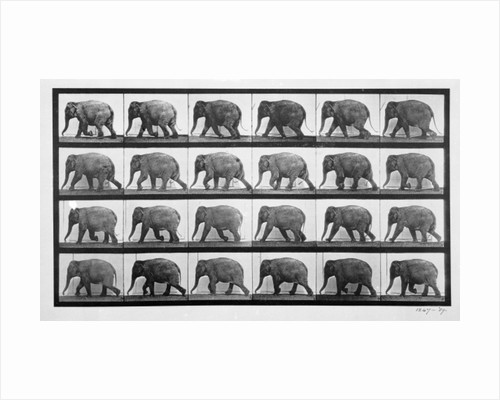 Elephant walking, plate 733 from 'Animal Locomotion' by Eadweard Muybridge