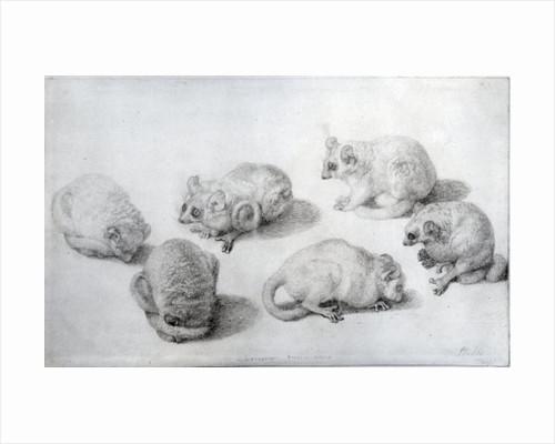 Studies of a Lemur by George Stubbs