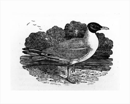 Black-Headed Gull by Thomas Bewick