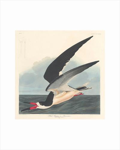 Black Skimmer by John James Audubon