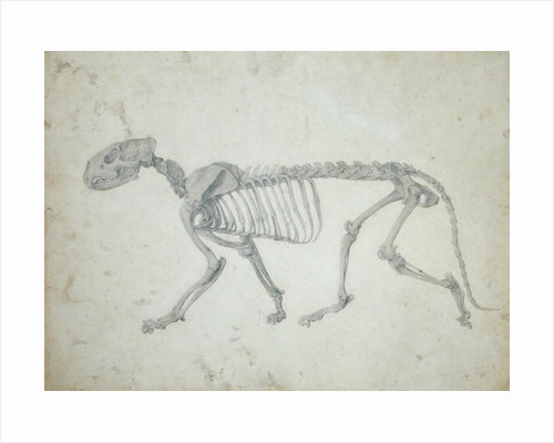 Lateral View of a Tiger Skeleton by George Stubbs