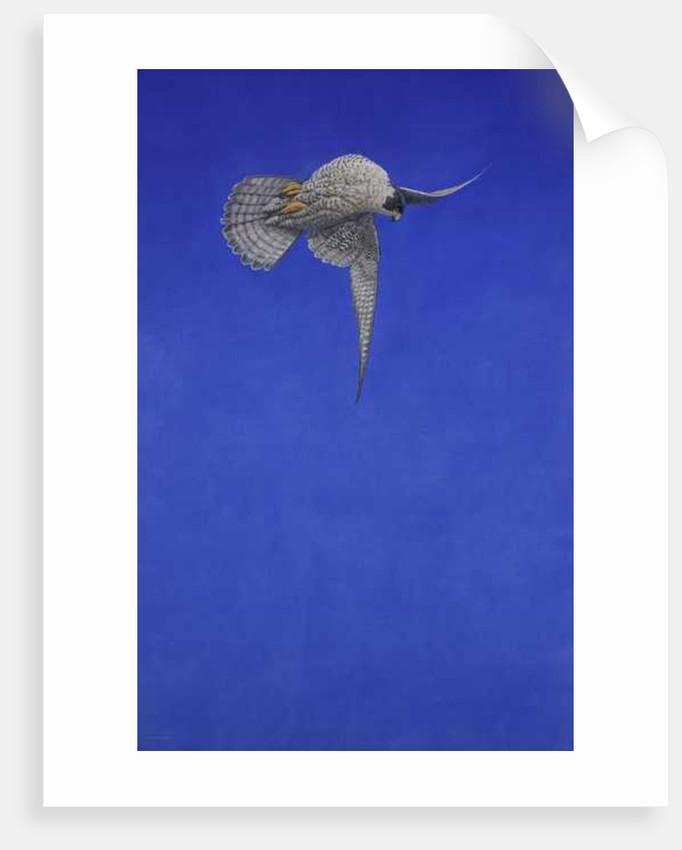 Peregrine Falcon by Tim Hayward