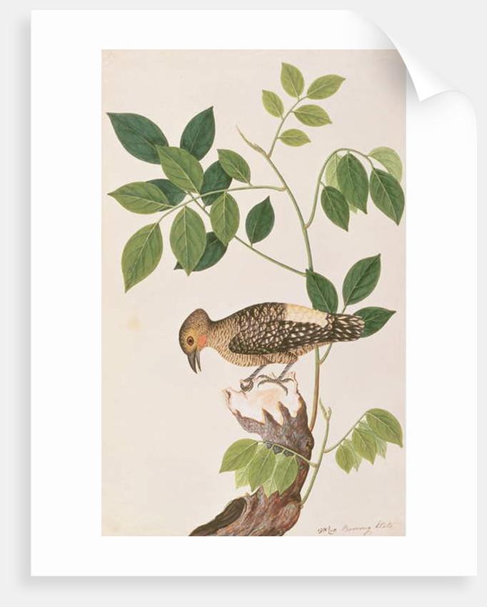 Buff-rumped Woodpecker by Chinese School