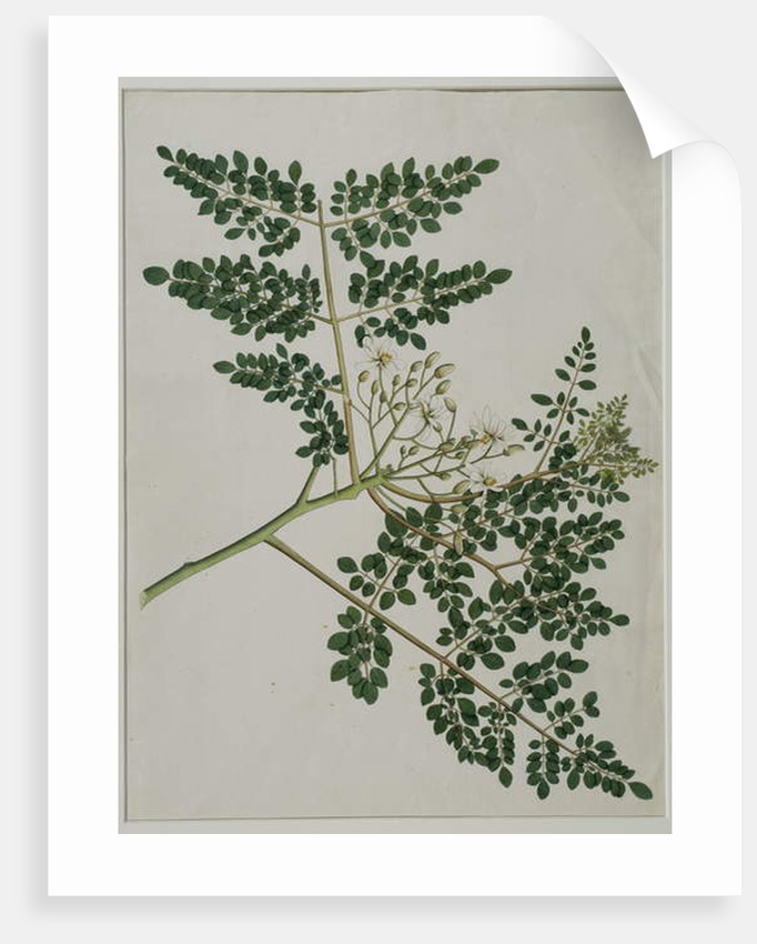 Moringa oleifera, also called horse-raddish tree, or drumstick tree by Anna Maria Jones
