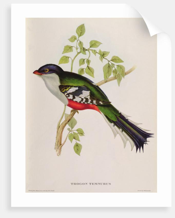 Trogon Temnurus from 'Tropical Birds' by John Gould