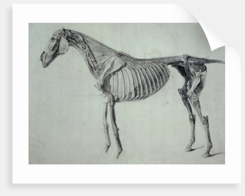 Finished Study for the Fifth Anatomical Table of a Horse posters ...