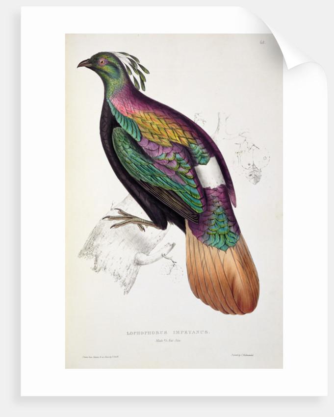 Himalayan Monal Pheasant by Elizabeth Gould