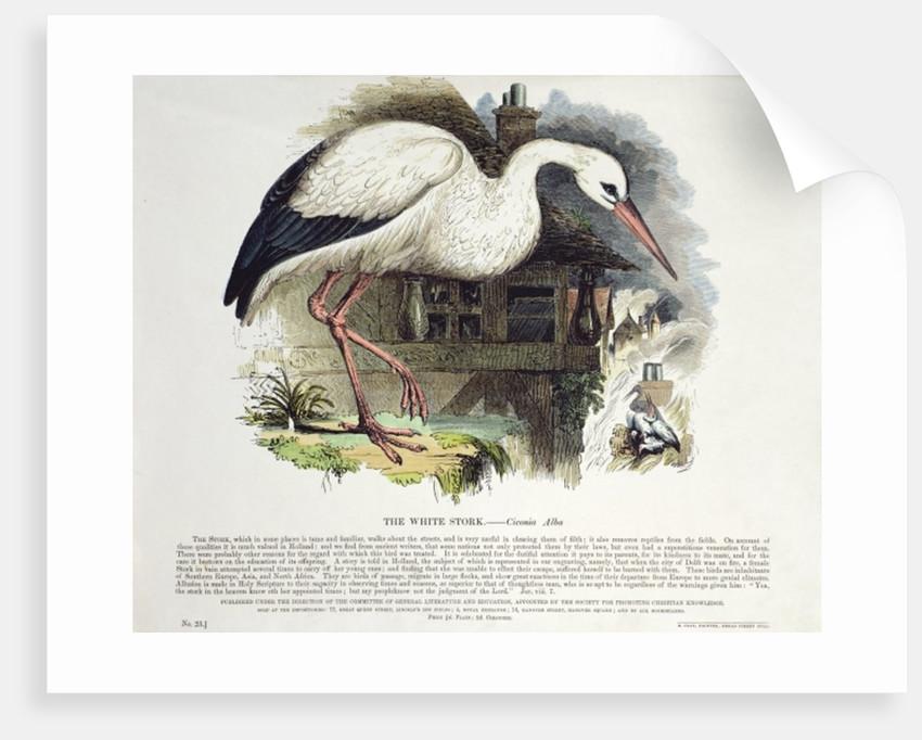 White Stork by English School