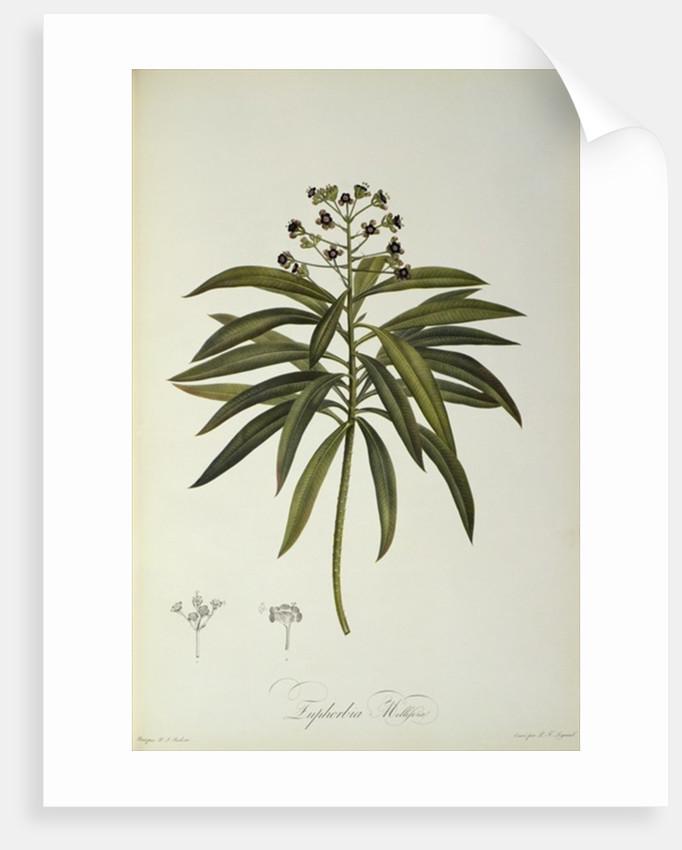 Euphorbia Mellifera by Pierre Joseph Redoute