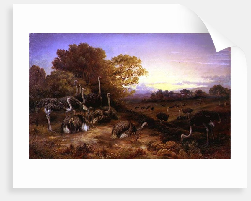 Ostriches, 19th century by Anonymous