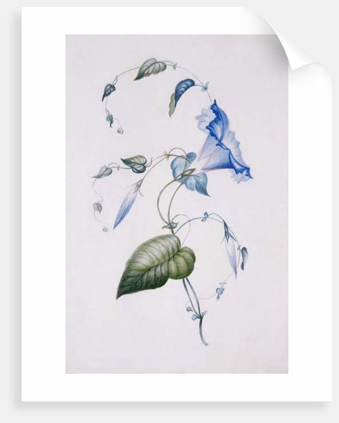 Blue convolvulus, 1832 by Charlotte Bronte