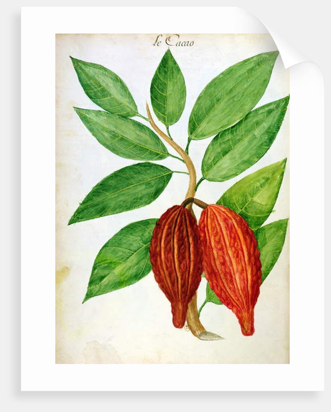 Cacao by Charles Plumier