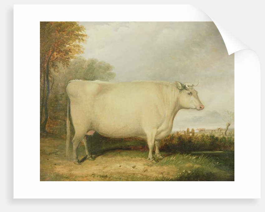 Portrait of a prize cow by John Vine