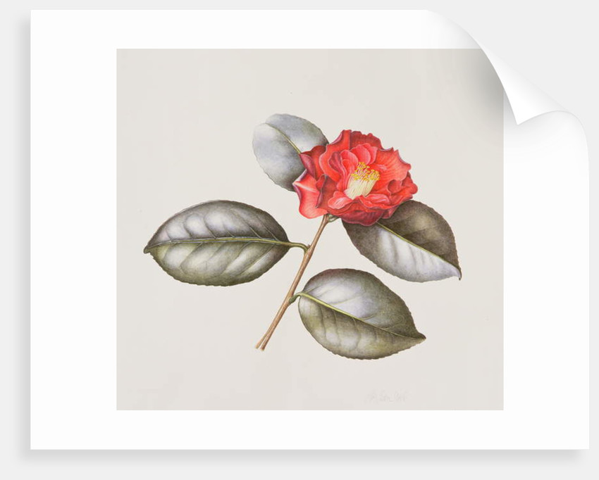 Camelia Japonica Adolphe Anderson, 1996 by Margaret Ann Eden