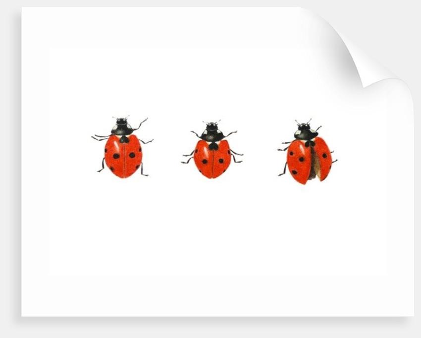 Three ladybirds by Ele Grafton
