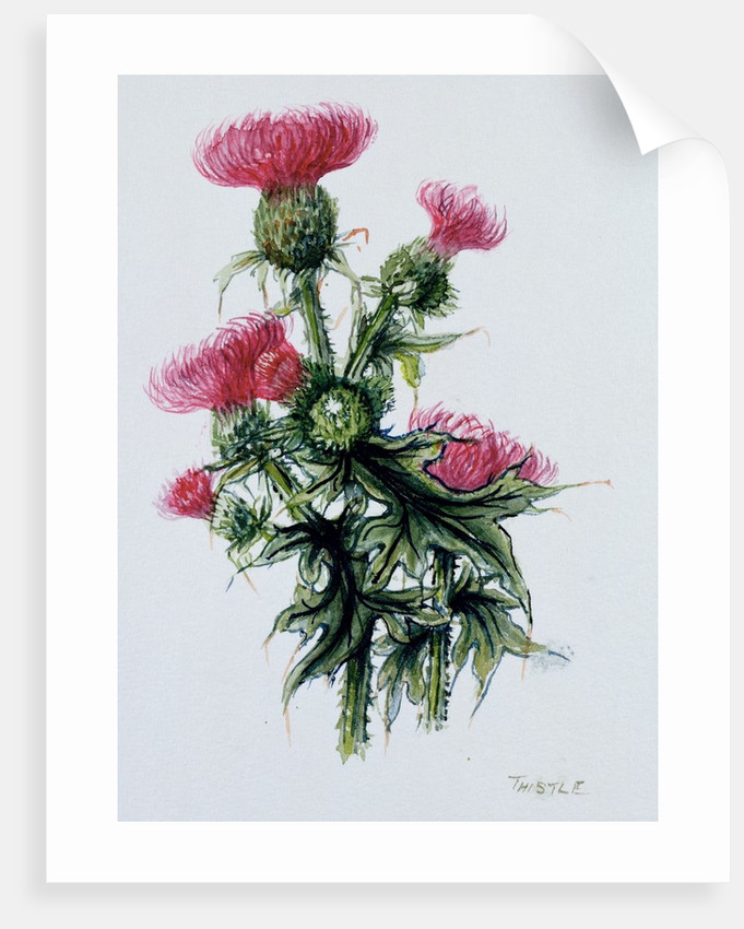 Scottish thistle by Nell Hill