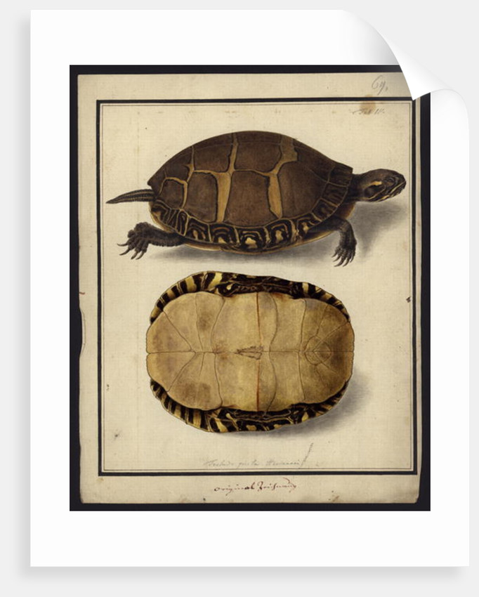 Chrysemys picta, before 1792 by Friedrich Wilhelm Wunder