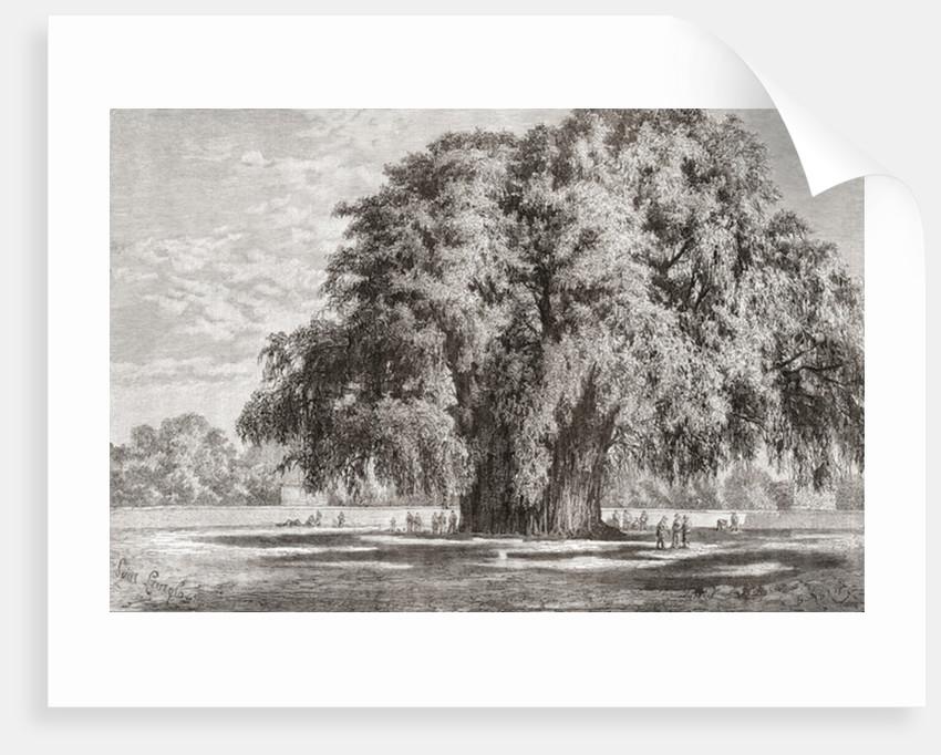 Santa María del Tule, Oaxaca, Mexico: The Tule Tree by Spanish School