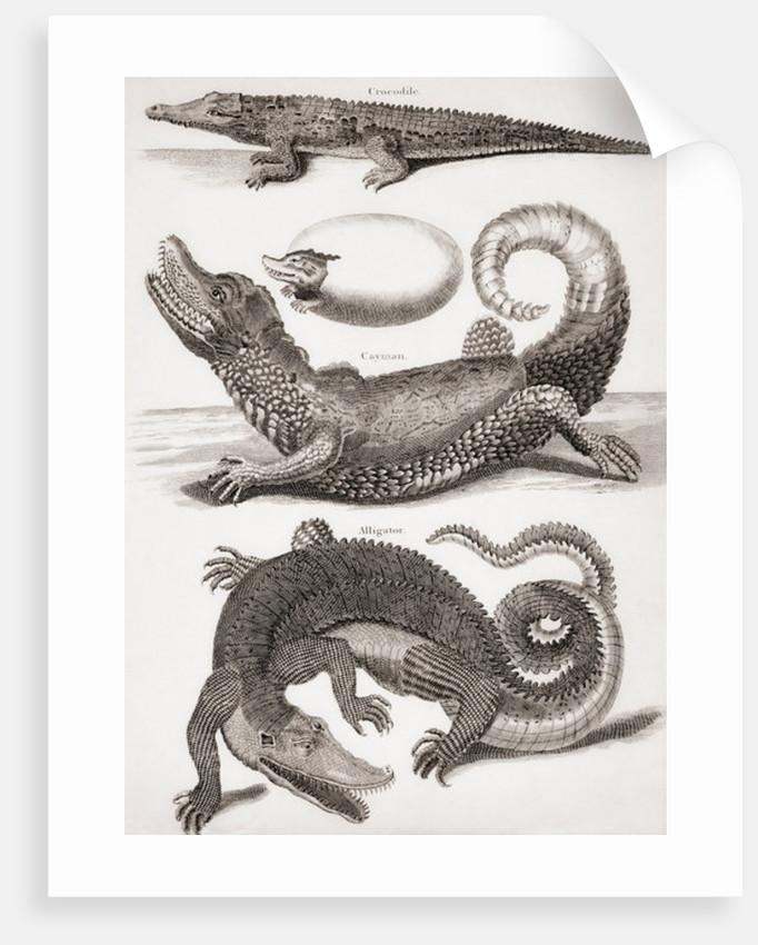 Crocodilia: Crocodile, Caiman and Alligator by Unknown artist