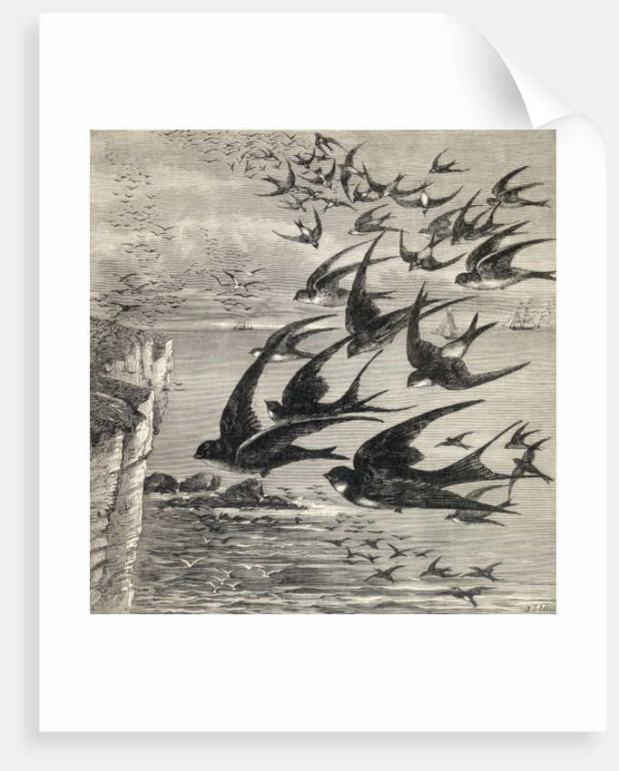 Annual migration of swallows by English School